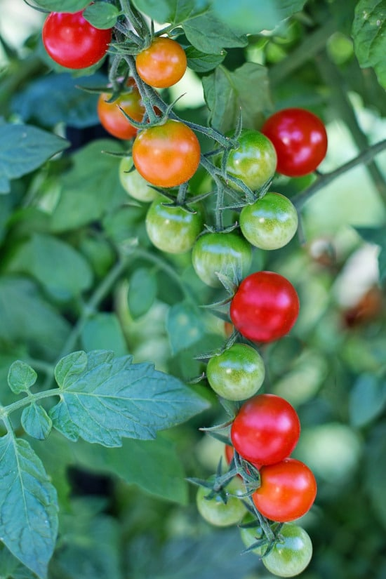 Tomatoes What Is the Healthiest Vegetable