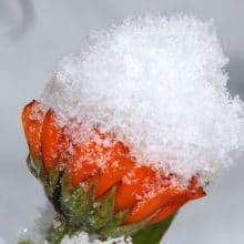 Calendula Frost Resistant Plants