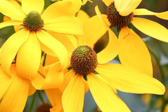 Coneflower Yellow Perennials
