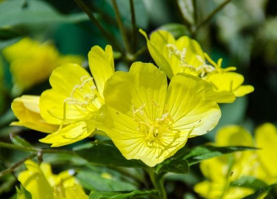 Evening Primrose Yellow Perennials 1