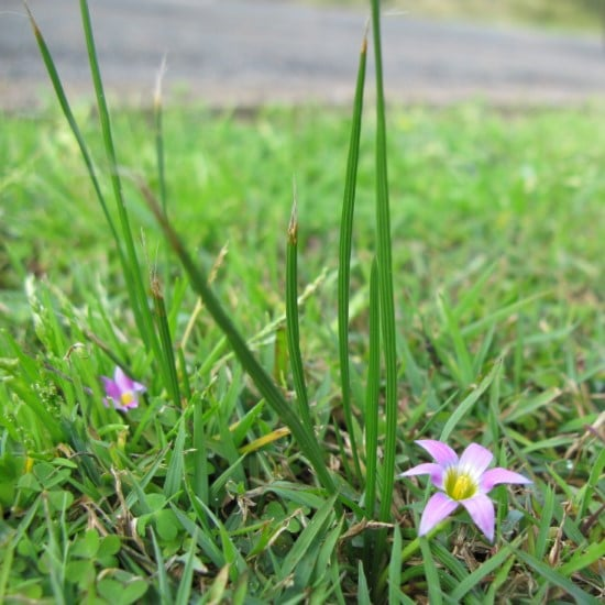 How To Get Rid Of Onion Grass 2