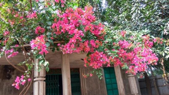 How To Prune Bougainvillea 2