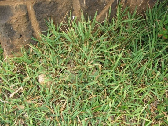 How To Revive St. Augustine Grass 2