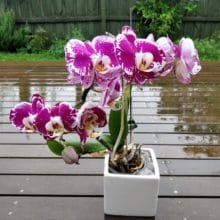 Phalaenopsis orchids in the rain How Long Do Orchid Blooms Last