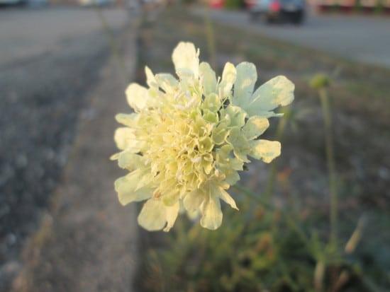 Pincushion Yellow Perennials