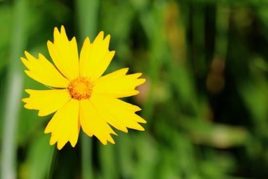 Tickseed Yellow Perennials