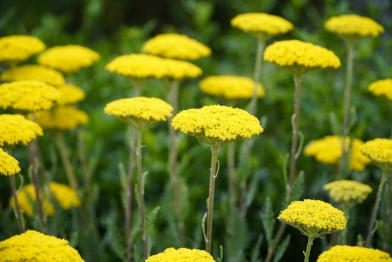 Yarrow Yellow Perennials