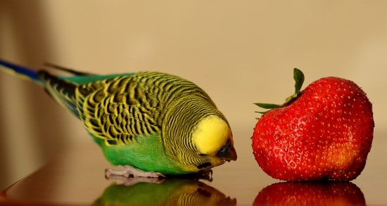 Birds What Is Eating My Strawberries