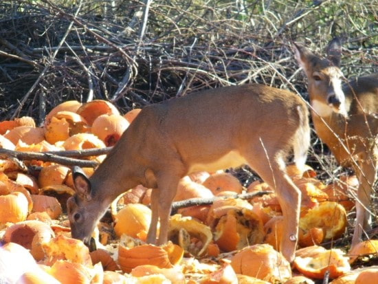 Deer What Animals Eat Pumpkins And Their Benefits