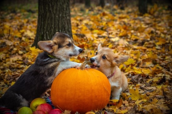 Dogs What Animals Eat Pumpkins And Their Benefits