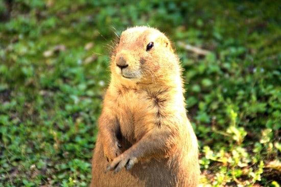 Groundhog Woodchucks What Animals Eat Pumpkins And Their Benefits