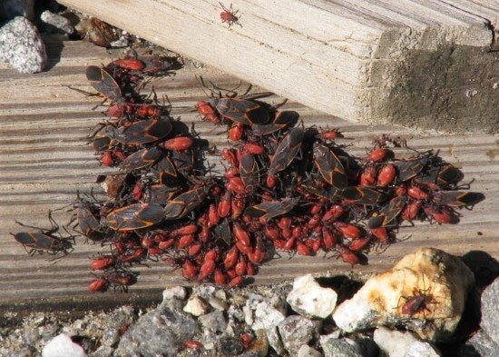 How To Get Rid Of Boxelder Bugs 2
