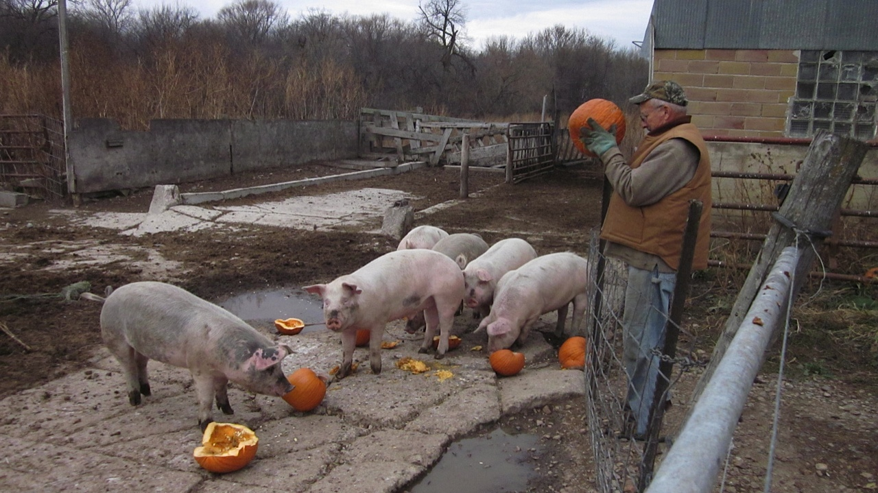 Pigs What Animals Eat Pumpkins And Their Benefits