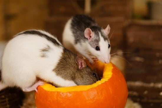 Raccoons and mice What Animals Eat Pumpkins And Their Benefits