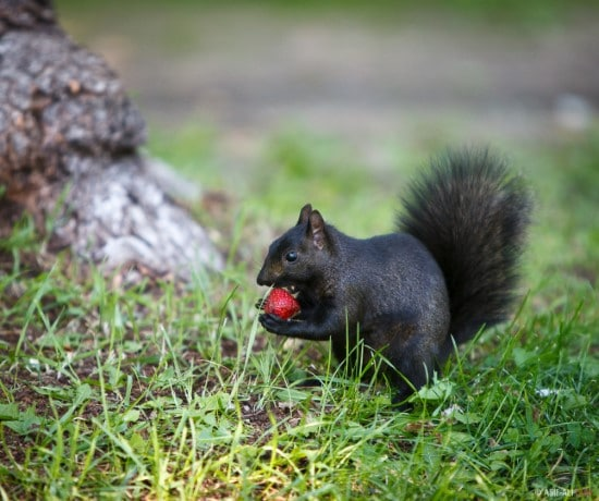 Squirrels What Is Eating My Strawberries