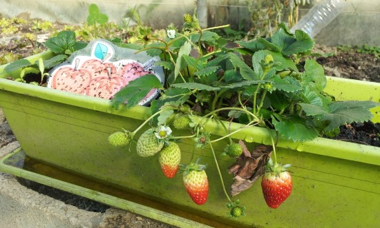 What Do Strawberries Grow On Container 2