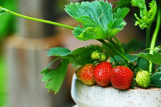 What Do Strawberries Grow On Container