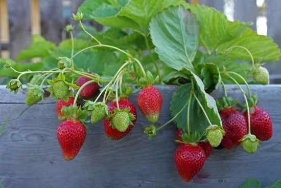 What Do Strawberries Grow On