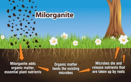 What Milorganite Do for The Grass When To Apply Milorganite