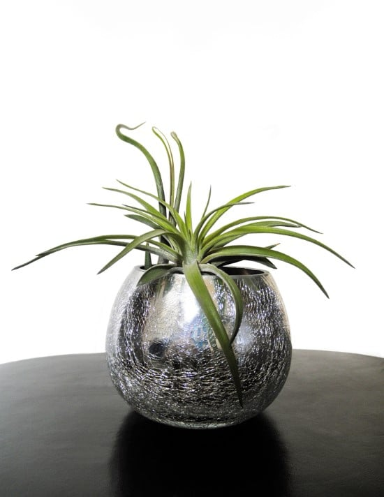 Air Plants Best Terrarium Plants for Your Home
