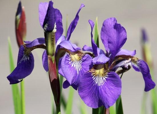 Algerian Iris Winter Flowering Bulbs