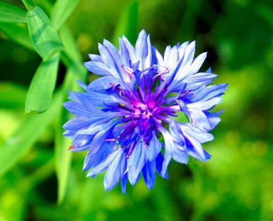 Bachelors Button Frost Tolerant Flowers
