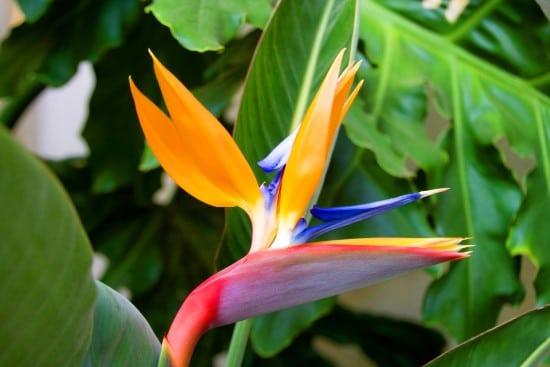 Bird of Paradise Yellow Flowering Houseplants