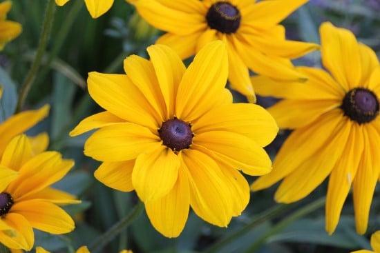 Black Eyed Susan Frost Tolerant Flowers