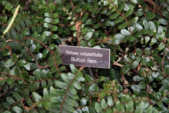 Button Ferns Best Terrarium Plants for Your Home