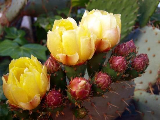 Cactus Yellow Flowering Houseplants