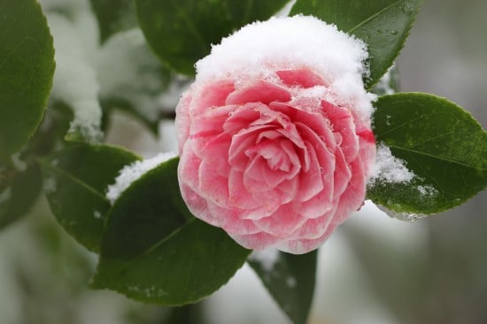 Camellia Winter Flowering Bulbs