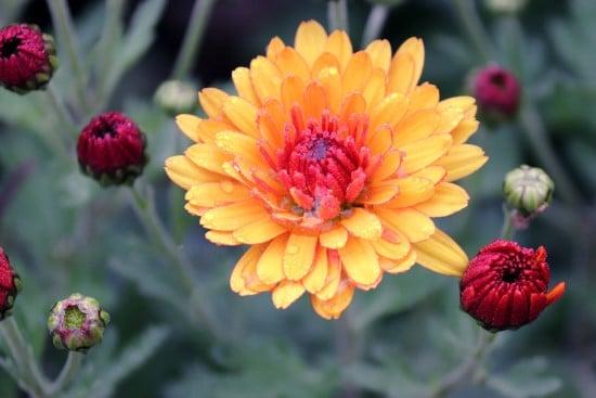 Chrysanthemum Rose Alternative Flowers
