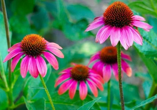 Coneflower Frost Tolerant Flowers