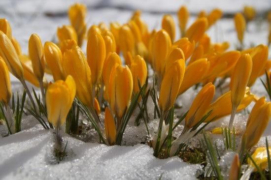 Crocus Winter Flowering Bulbs