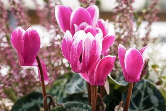 Cyclamen Winter Flowering Bulbs