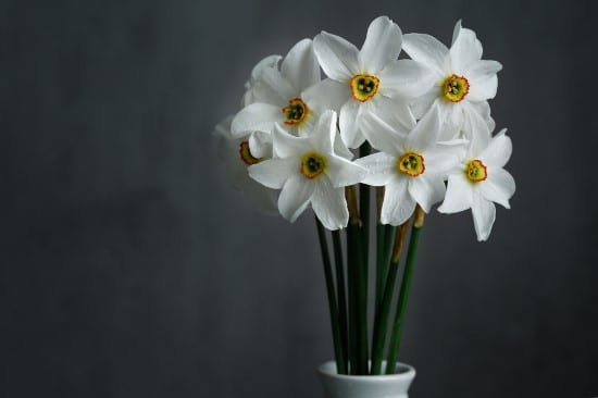 Daffodils Winter Flowering Bulbs