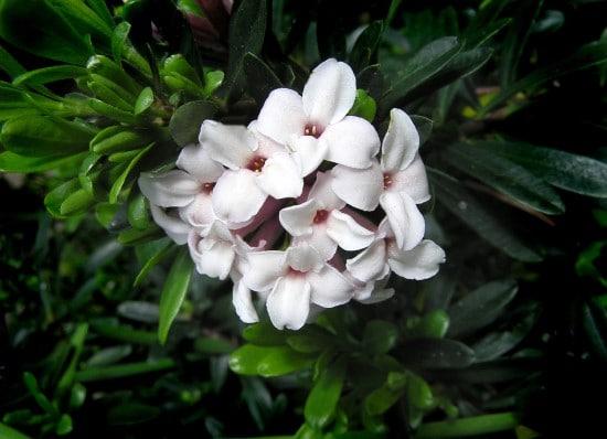 Daphne Shrub Winter Flowering Bulbs