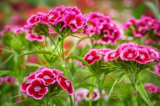 Dianthus Frost Tolerant Flowers