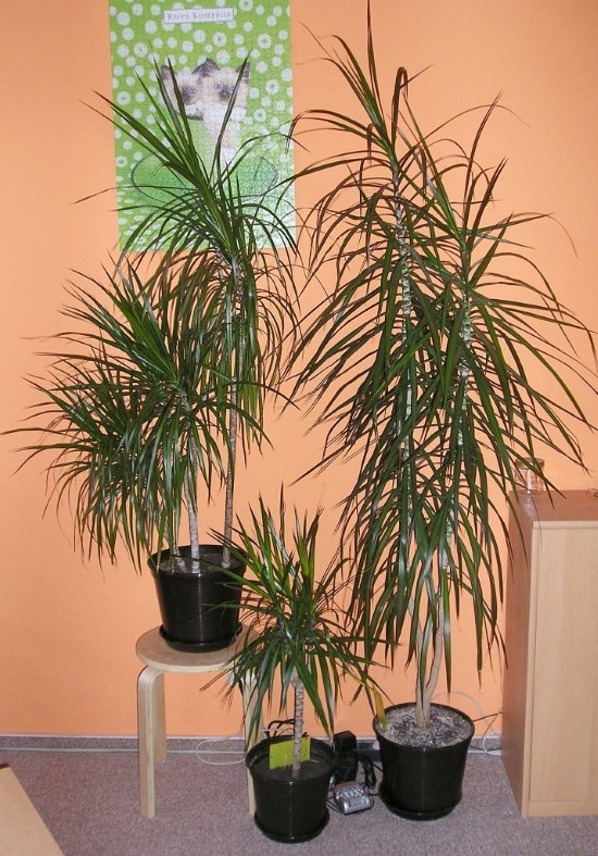Dracaena Marginata Spiky plants