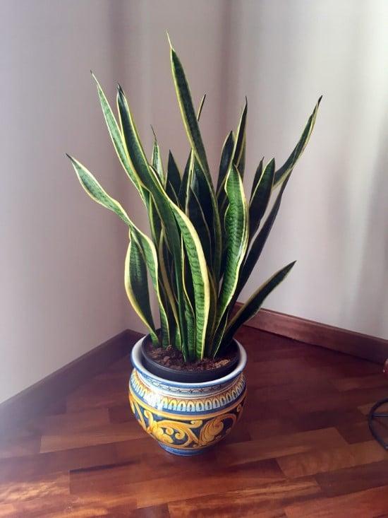 Dracaena Trifasciata Spiky plants
