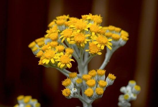 Dusty Miller Frost Tolerant Flowers