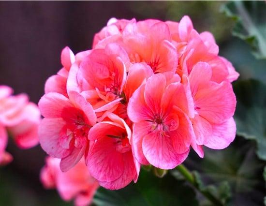 Geranium Frost Tolerant Flowers