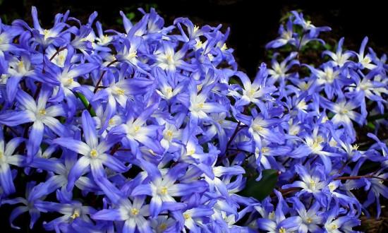 Glory of the Snow Winter Flowering Bulbs