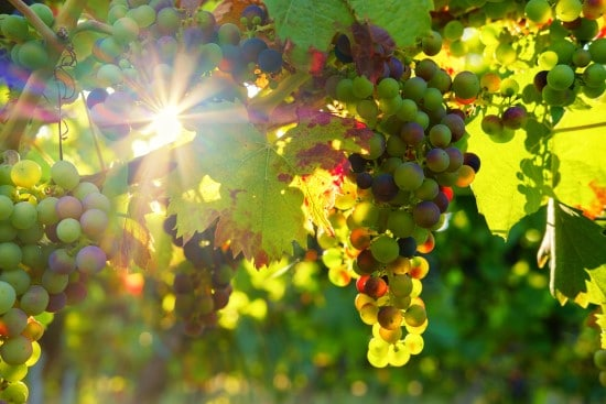 Grapes 18 of the Edible Vine Plants to Grow Vertically at Home
