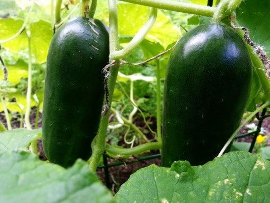 How Long Do Cucumbers Take To Grow