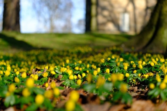 How To Grow Winter Aconite Flowers 2