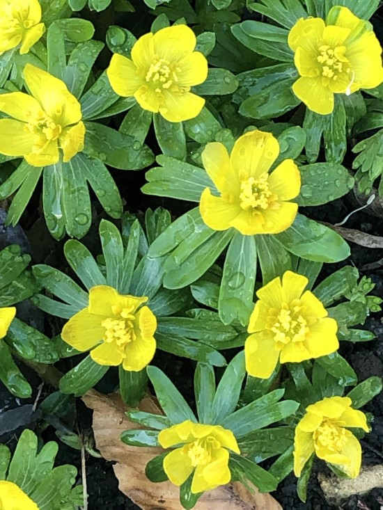 How To Grow Winter Aconite Flowers 4