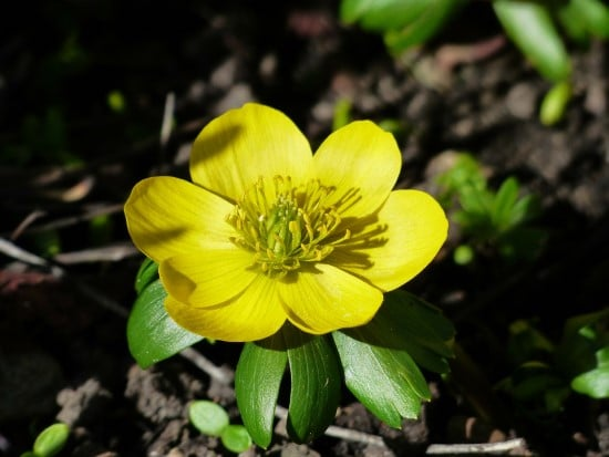 How To Grow Winter Aconite Flowers