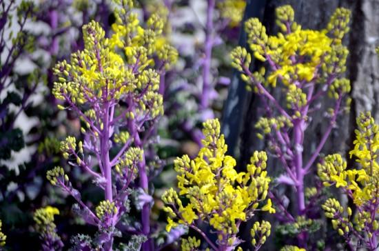 Kale Frost Tolerant Flowers