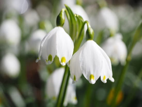 Leucojum Winter Flowering Bulbs